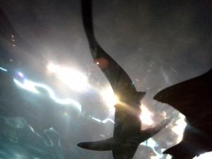 Shark at Ripley's Aquarium of the Smokies in Gatlinburg, TN