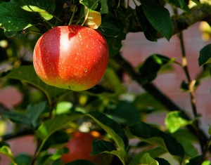 Image of an apple on a tree by Kapa65 on Pixabay at https://pixabay.com/en/apple-tree-branch-apple-fruit-429213/