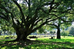 Oak tree image by Bluesnap on Pixabay at https://pixabay.com/en/oak-tree-tree-oak-majestic-old-292114/