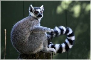 Ring-tailed lemur on a tree stump. Image by PublicDomainPictures on Pixabay, https://pixabay.com/en/ring-tailed-lemur-rare-wild-exotic-216231/