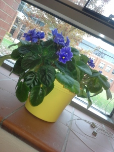 African violet in a yellow pot on a  window sill