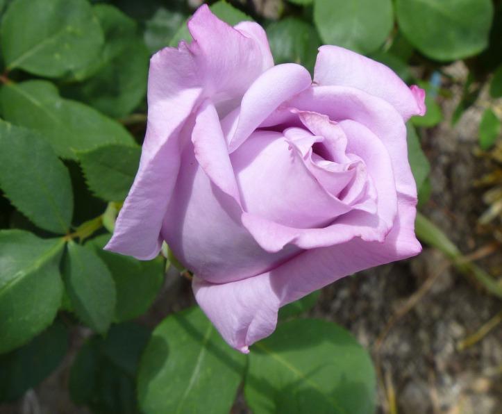 rose-1016079_1920