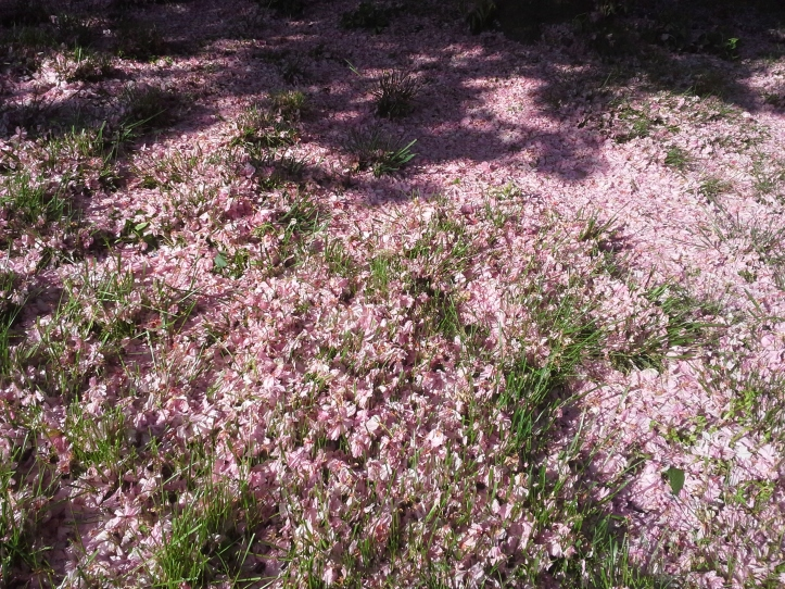 Cherry blossoms blanketing my front yard