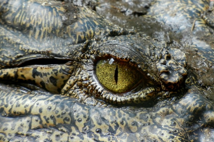 Crocodile eye by Angelo_Giordano on Pixabay at https://pixabay.com/en/crocodile-eye-animal-nature-630233/
