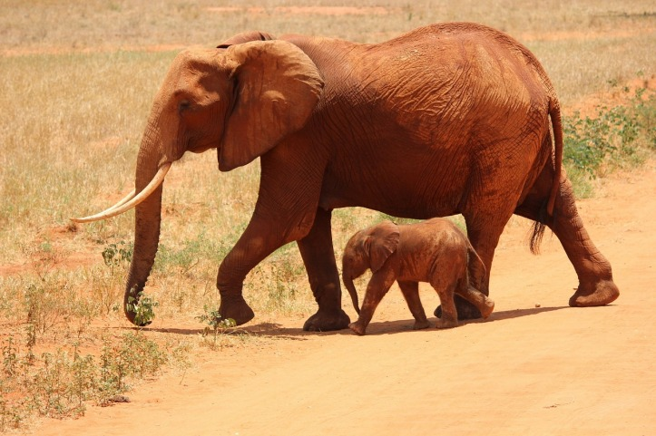 Mama and baby African elephants by Kikatani on Pixabay at https://pixabay.com/en/elephant-cub-tsavo-kenya-savanna-175798/