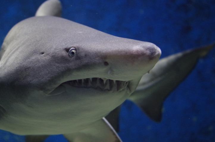 Shark by Fgyongyver on Pixabay at https://pixabay.com/en/shark-animal-hazard-teeth-fish-674867/