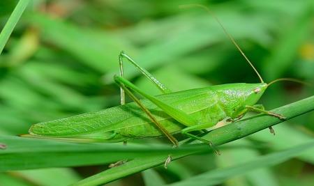 Grasshopper by ju1959jjj on Pixabay at https://pixabay.com/en/insect-grasshopper-antenna-nature-2626819/
